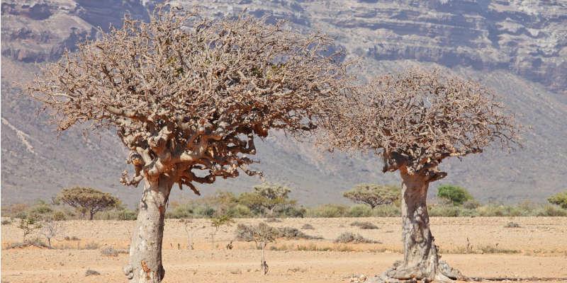 Árboles de mirra